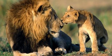Avaaz - US, EU: Save Africa's lions!